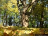 reportaz_platan_klonolistny_pomnik_przyrody_w_parku_mlodziezowym_w_swidnicy_004