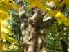 reportaz_platan_klonolistny_pomnik_przyrody_w_parku_mlodziezowym_w_swidnicy_005