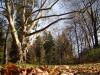 reportaz_platan_klonolistny_pomnik_przyrody_w_parku_mlodziezowym_w_swidnicy_009