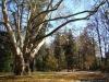 reportaz_platan_klonolistny_pomnik_przyrody_w_parku_mlodziezowym_w_swidnicy_010