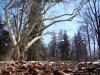 reportaz_platan_klonolistny_pomnik_przyrody_w_parku_mlodziezowym_w_swidnicy_011