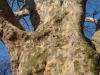 reportaz_platan_klonolistny_pomnik_przyrody_w_parku_mlodziezowym_w_swidnicy_021