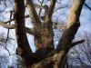 reportaz_platan_klonolistny_pomnik_przyrody_w_parku_mlodziezowym_w_swidnicy_023