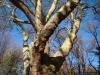 reportaz_platan_klonolistny_pomnik_przyrody_w_parku_mlodziezowym_w_swidnicy_024
