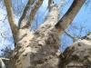 reportaz_platan_klonolistny_pomnik_przyrody_w_parku_mlodziezowym_w_swidnicy_026