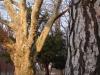 reportaz_platan_klonolistny_pomnik_przyrody_w_parku_mlodziezowym_w_swidnicy_045
