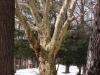 reportaz_platan_klonolistny_pomnik_przyrody_w_parku_mlodziezowym_w_swidnicy_047