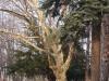 reportaz_platan_klonolistny_pomnik_przyrody_w_parku_mlodziezowym_w_swidnicy_050
