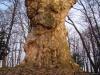 reportaz_platan_klonolistny_pomnik_przyrody_w_parku_mlodziezowym_w_swidnicy_051