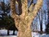 reportaz_platan_klonolistny_pomnik_przyrody_w_parku_mlodziezowym_w_swidnicy_060