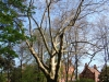 reportaz_platan_klonolistny_pomnik_przyrody_w_parku_mlodziezowym_w_swidnicy_061